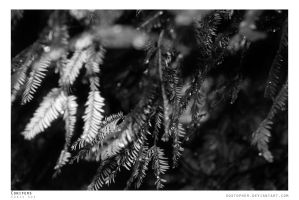 Conifers by Sostopher