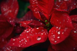 Red Dewdrops by treeclimber411