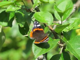 Red Admiral by Temansha