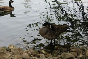 Canadian Goose 3 by Frostdragon64