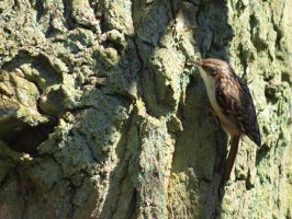 Treecreeper by pagan-live-style