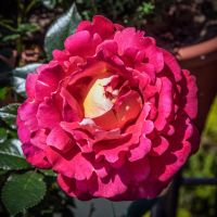 rose_jm10311.jpg by joergens-mi