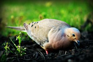 Mourning Dove by xLindarielx