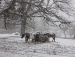Winter Horses Freebie by CelticStrm-Stock (3) by CelticStrm-Stock