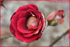 Rose Rouge by Camille-D-Sparda
