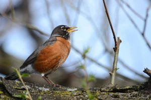American Robin (male) by GuillaumGibault