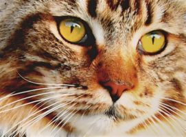 Maine Coon by Coony357
