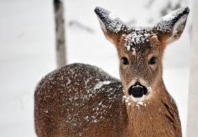Snowy Deer by jdurbin