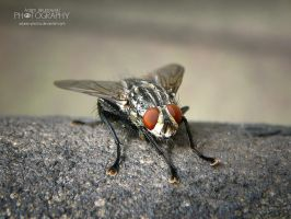 The Fly 2 by adunio-photos