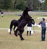 STOCK - Friesian Show 2012-17 by fillyrox