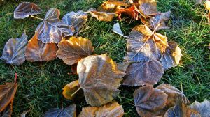 Frozen leaves by francis1ari