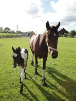 Bay Tobiano foal with mother by Horselover60-Stock