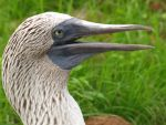 Blue Footed Booby by WhiteFell
