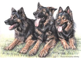 Long-haired German Shepherds by ArtsandDogs
