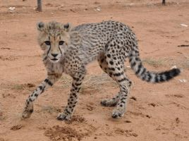Cheetah cub - stock by kridah-stock