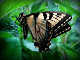 Eastern Tiger Swallowtail by Rissalea