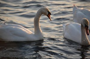 Swan by Imarsis