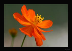 Cosmos in my garden. by Inadesign