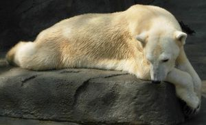 710 - polar bear by WolfC-Stock