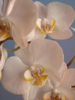 Don, My Orchid by fireflyfan2011