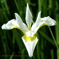 White Iris Squared by EarthHart