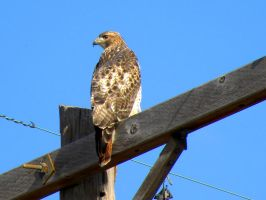 Redtail by SuicideBySafetyPin