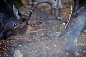 Stag Fight by Revelio