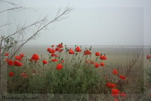 poppys in foggy morning by Rainbiker