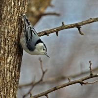 White Bellied Nuthatch by clippercarrillo
