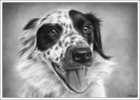 Border Collie 1 by Zindy