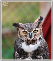 Great Horned Owl by jcreech
