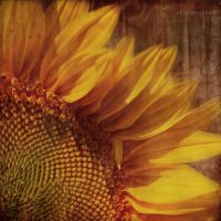 15 minutes from a sunflower's life by ildiko-neer