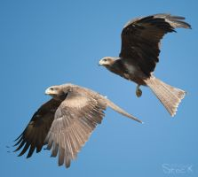 Black Kite by 88-Lawstock