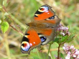 Peacock butterly by Faunamelitensis