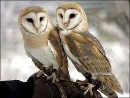 2 owls by hamy23p