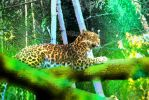 Leopard in a Mossy Glade by Calisaroa
