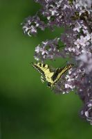 The spontaneous butterfly _ 2 by Deyutzica