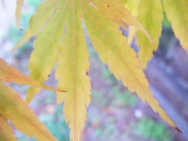 Japanese Maple Leaf by Seattle-Storm