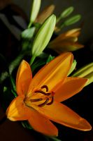 Lily2 by anyt1m3