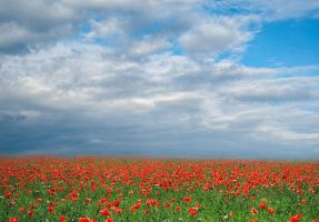coquelicots background by Ilford75-stock