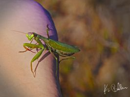 The Fierce Praying Mantis by calciumblue