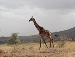 Young Giraffe by Track-Maidens