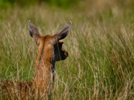 Red Deer Hind 01 - May 12 by mszafran