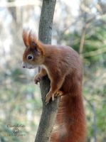 Squirrel 92 by Cundrie-la-Surziere