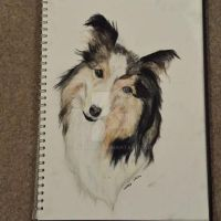 Shetland Sheepdog Drawing by eclareee