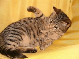 tabby cat and yellowbackground by dojjU