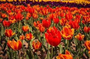 Orange Tulips by feria233