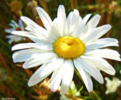 One Daisy by Ranae490