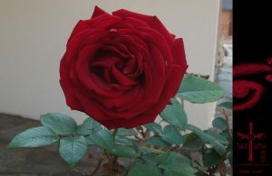 Red Rose by TheoGothStock