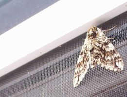 Moth by blindtetra